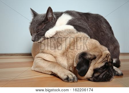 Cute cat lying on adorable pug at home