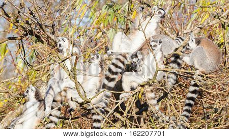 Ring-tailed Lemur (lemur Catta), Group In A Tree