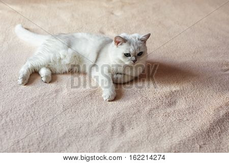 Fluffy Domestic Cat Sitting In Bedroom