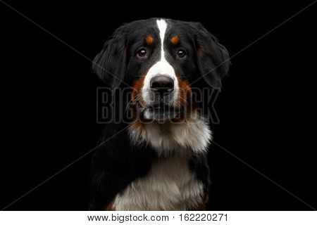 Close-up portrait of Bernese Mountain Dog Curious looking in camera on isolated black background