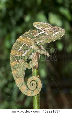 green chameleons on tree branch natural backgroung