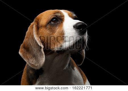 Close-up portrait of Young Beagle dog looking up on isolated black background, front view