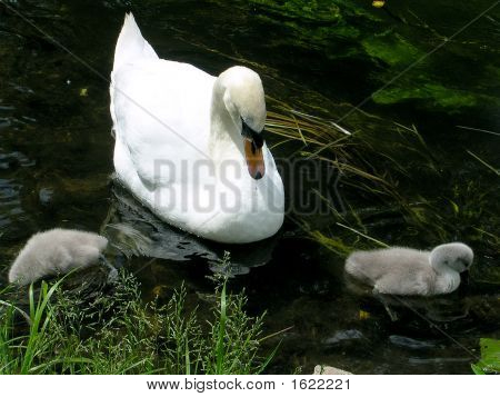 Mother Or Father Swan Watching Over Two Babies
