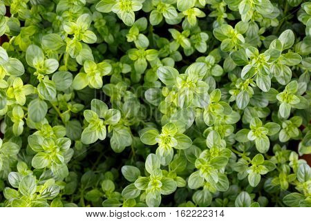 Thyme leaves Culinary herb Thymus vulgaris Food green background