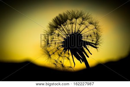 dandelion flower  close up with sunset background