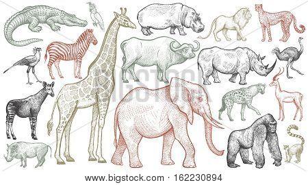African animals set. Elephant giraffe buffalo hippo rhino lion cheetah antelope ostrich hyena lemur gorilla crocodile bird Secretary warthog zebra parrot okapi. Vector illustration