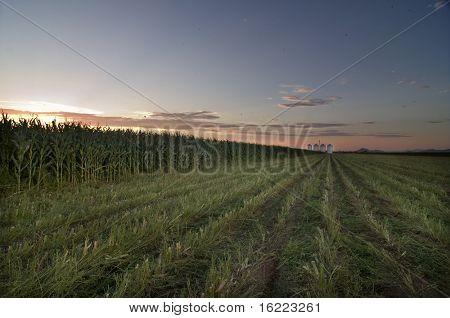 Sunset over field of corn crop