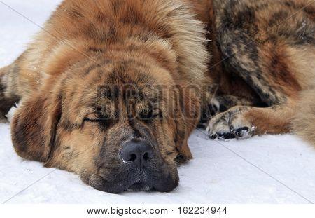 Lazy dog lying on snow close up