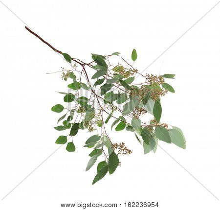 Branch of eucalyptus populus on white background