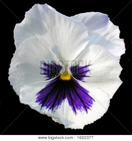 White Pansy Flower Head On Black Background