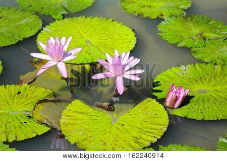 Pink lotus blooming in the pond at a park.