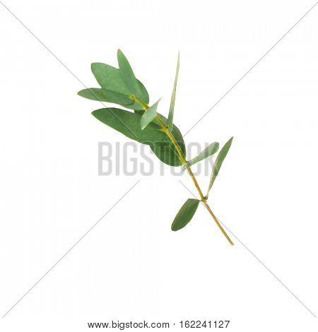 Green eucalyptus branch on white background