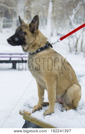 """Puppy Belgian Shepherd """"malinois"""" Walks In The Park During A Snowfall."""