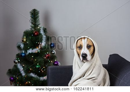 Dog in throw blanket portrait in front of decorated christmas tree. Staffordshire terrier puppy sitting on sofa covered in plaid with decorated fur tree in background