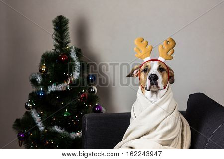 Dog in reindeer headband in front of christmas tree. Staffordshire terrier puppy sitting on sofa covered in throw blanket with masquerade deer horns headband on its head