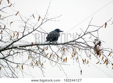Raven on a branch in winter morning period