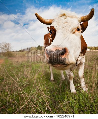 Pasture. The cow with the broken horn and curly hair on his head looks in the picture. His tongue hanging out. Ukraine. Kharkov region.