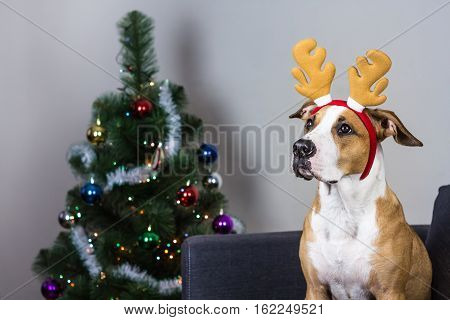 Dog in christmas reindeer headband and fur tree. Staffordshire terrier puppy sitting on sofa  with masquerade deer horns headband on its head in front of decorated christmas tree