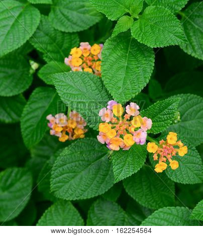 Lantana Small Red With Purple