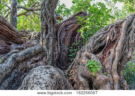 Mighty trunk of the very old carob tree in a sunny late autumn day.