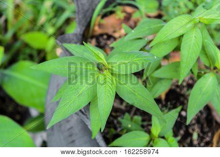 Vietnamese coriander,green Vietnamese coriander,herb, green Vietnamese coriander trees