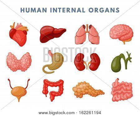 Human internal organs medicine anatomy vector illustration.