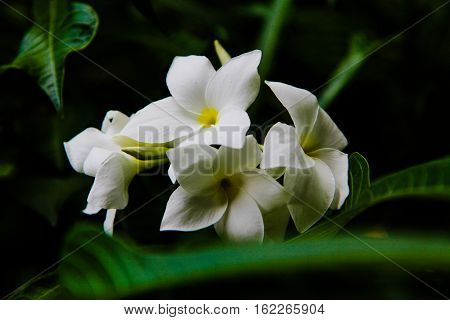 White Plumeria on the plumeria tree, frangipani tropical flowers.White plumeria.Plumeria flowers.