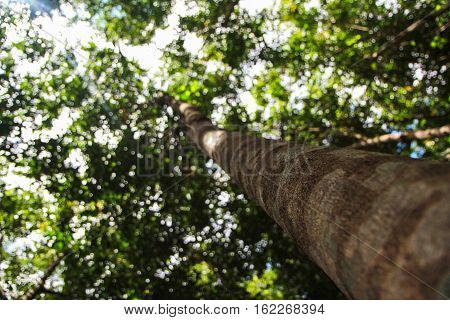 Tree reaching to the sky-View of the rubber tree from the bottom up - surrounded by foliage