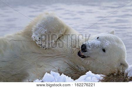 Polar bear enjoys rolling in fresh snow, while munching on grasses.  Autumn in Churchill, Manitoba, Canada.
