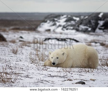Polar bear sow lays resting on the frozen tundra, with open water of the Hudson Bay in the background.