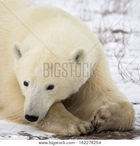 Close up image of a polar bear sow, resting on the tundra.  Autumn in Churchill, Manitoba, Canada.