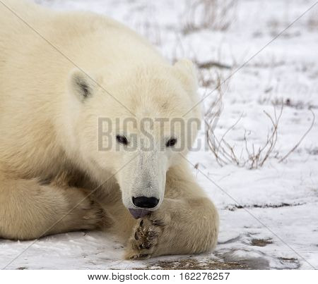 Close up image of a polar bear sow, resting on the tundra, licking her paw.  Late autumn in Churchill, Manitoba, Canada