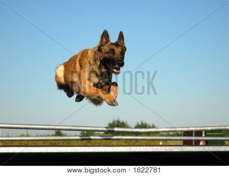 jumping purebred belgian shepherd malinois in blie sky poster