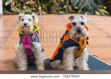 Two dogs sitting and wearing coats and harnesses