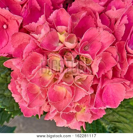 dark pink hortensia flower closeup natural background