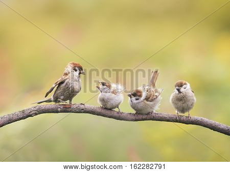 small nestlings, and the parent of a Sparrow sitting on a branch little beaks Agape