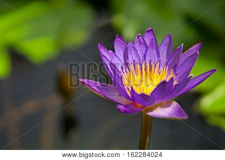 Water lilly take close up photo pond