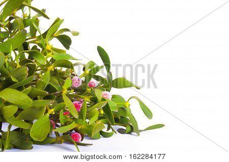 Green mistletoe isolated on white background. Nature background. Christmas plant
