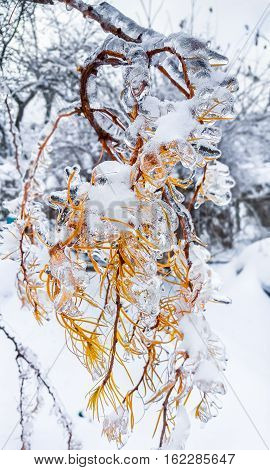 Branches of a tree covered with ice and snow. Winter