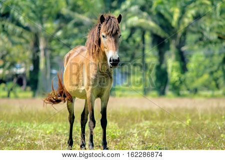The horse (Equus ferus caballus) is one of two extant subspecies of Equus ferus. It is an odd-toed ungulate mammal belonging to the taxonomic family Equidae. The horse has evolved over the past 45 to 55 million years from a small multi-toed creature into