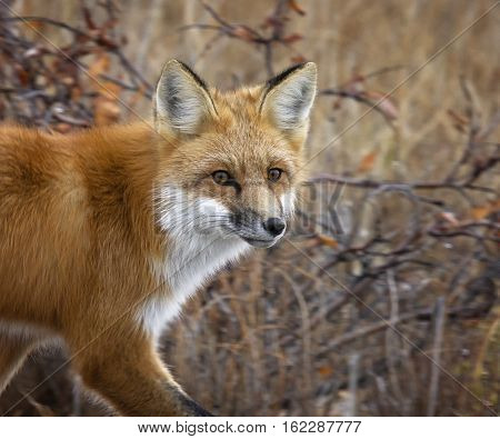 Close up, head and shoulders image, of a red fox.