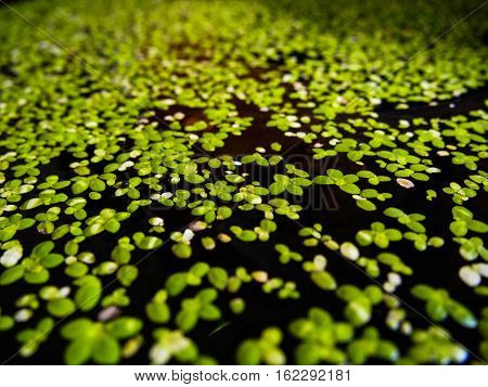 Close up of Duckweed (Lemnoideae) in a pond