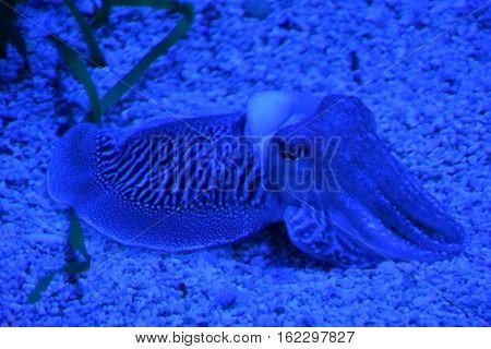 A Cuttlefish in Water in an Aquarium