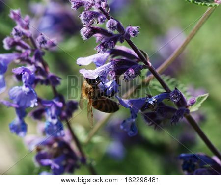 a bee in purple flower eats nectar