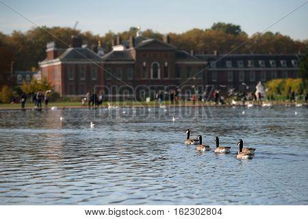 Group of wild geese swimming towards Kensington Palace Kensington Garden London