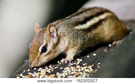 Beautiful Background With A Cute Chipmunk On The Hedge