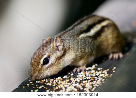 Beautiful Isolated Picture With A Cute  Chipmunk On The Wooden Hedge