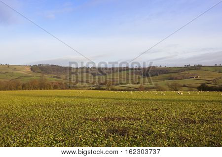 Sheep And Fodder Crops