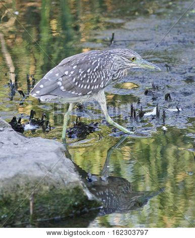 Isolated Image Of A Funny Black-crowned Night Heron Walking Towards The Shore