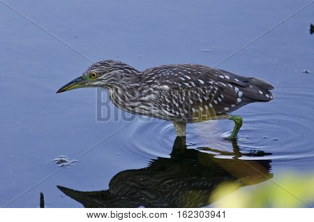 Isolated Photo Of A Funny Black-crowned Night Heron In The Water